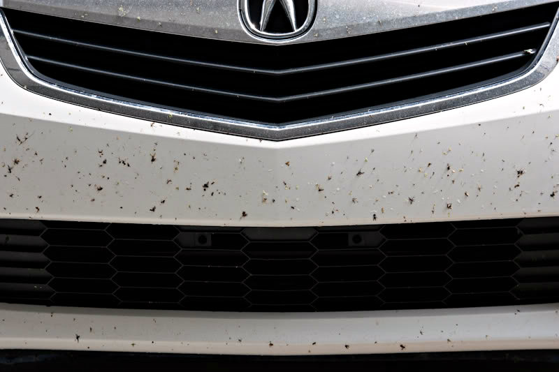 Common Automotive Paint Correction & Detailing Defects: Insect Remnants (Love Bugs) can etch paint if not removed quickly.